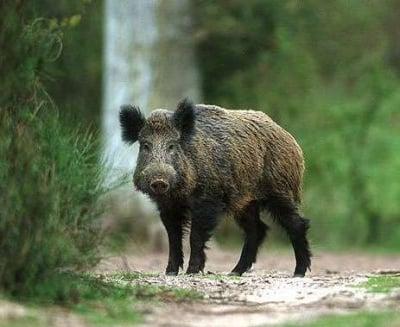 Ваксинация на дивите свине срещу Класическа чума