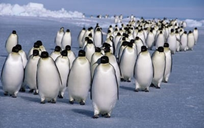 Арктически изследователи са засекли голяма колония от императорски пингвини