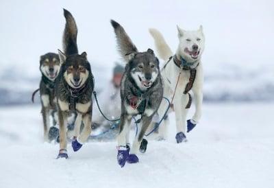 Впрегатни кучета