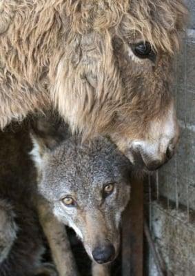 Вълк и магаре