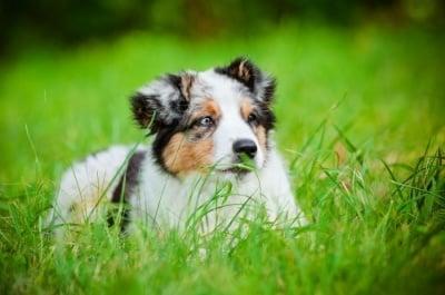 Защо кучето ми яде трева