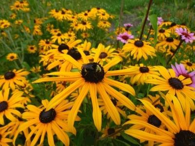 Защо пчелите изчезват