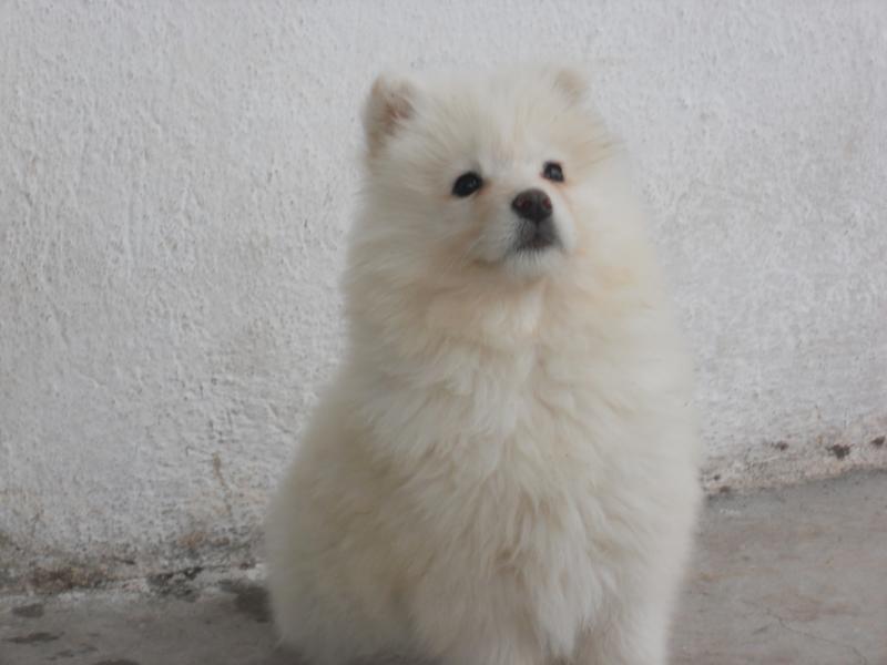 Най - сладкото куче на света - Мира кучето самоед