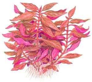 """""""Alternanthera reineckii Rosanervig"""" - Растение за аквариум"""