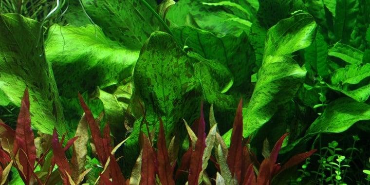"""Echinodorus Ozelot Green"" - Растение за аквариум"