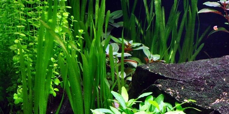 """""""Vallisneria americana Natans"""" - Растение за аквариум"""