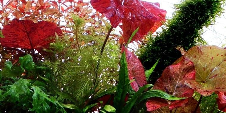 """Nymphaea lotus"" - Растение за аквариум"