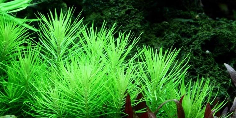 """""""Pogostemon erectus"""" - Растение за аквариум"""