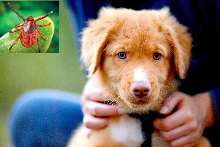 Бабезиоза при кучето