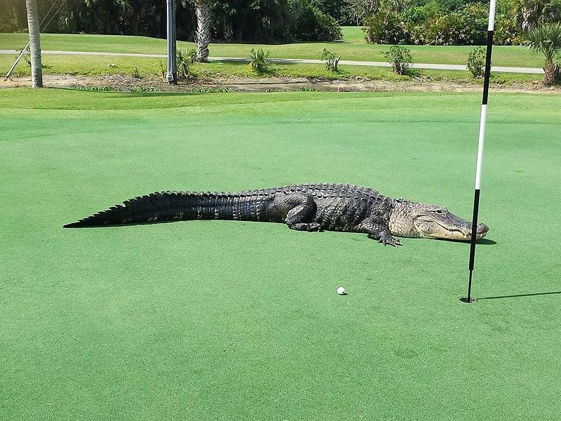 Гигантски алигатор във Флорида