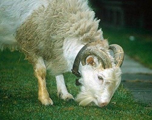 Хибрид между коза и овца