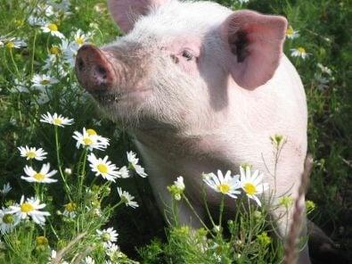 Канибализъм при свинете