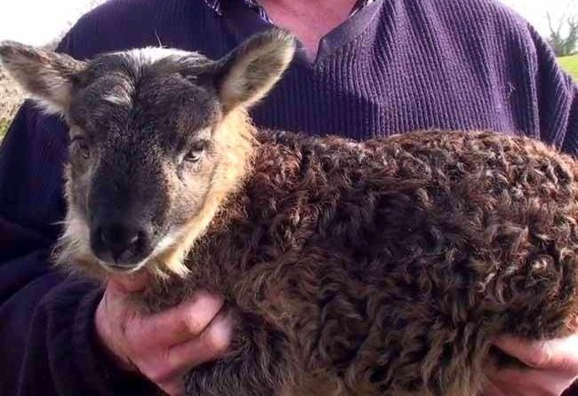 В Ирландия се роди необичайно животно - смеска между козел и овца