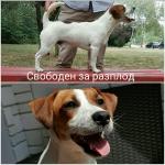 Джак Ръсел Териер БРФК FCI Jack Russell Terrier