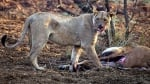 Лъвица улавя бременна кошута