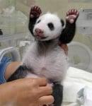 Новородена панда