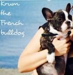 Крум - the French bullldog