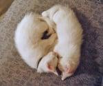 Бели котенца
