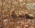 Три малки лисичета