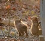 Бебета лисичета