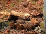 Малки лисичета в листата