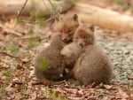 Гушнати лисичета
