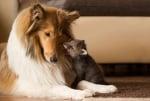 Домашно куче с диво лисиче
