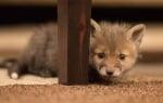 Бебе лисиче