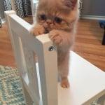Коте на стола