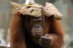 Орангутан с чадър