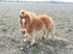 Пони с дълга грива