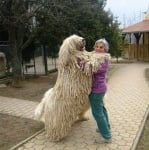 Швейцарска овчарка