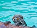 Котка плува в басейн