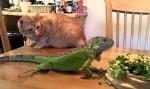 Игуана с котка