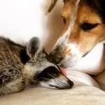 Куче и енот