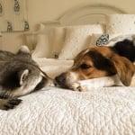 Енота с кучето