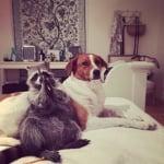 Куче и енот на дивана