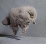 Сива котка