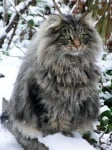 Тъмносива котка