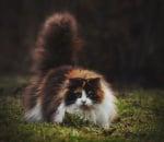 Пухкава котка