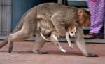 Маймуна тича с кученце