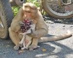 Осиновено кученце от маймуна