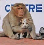 Осиновеното от маймуна кученце