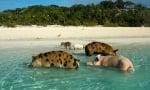 Остров с прасета