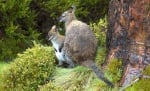 Австралийски валаби