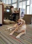 Лабрадор в офиса