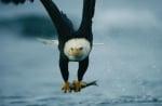 Ловуване на белоглав орел