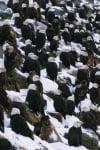 Белоглавите орли