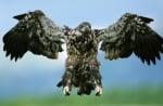 Крилете на белоглав орел