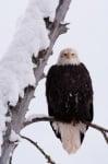Кацнал белоглав орел